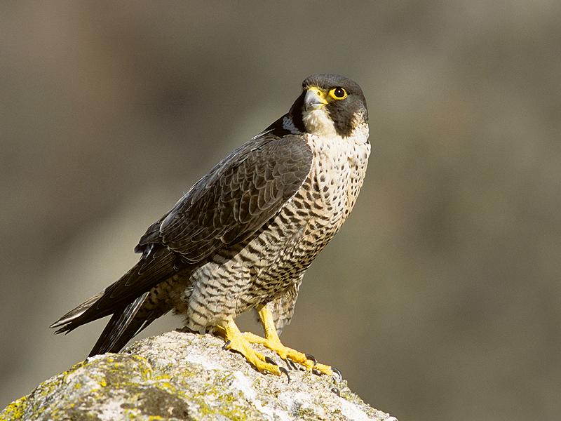 faucon pèlerin escalade oiseaux rupestres falaise