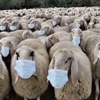 moutons masque covid